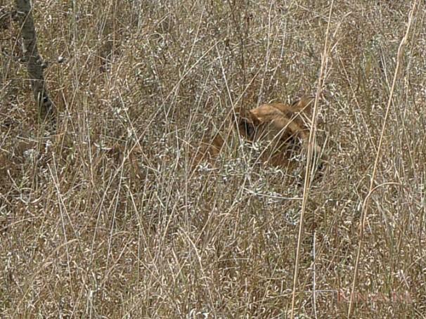 hoog-gras-met-leeuw