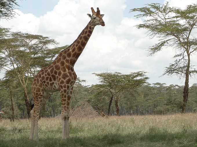 Giraf in Nakuru National Park Kenia