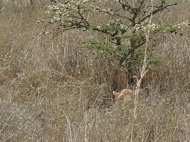 leeuw-in-hoog-gras