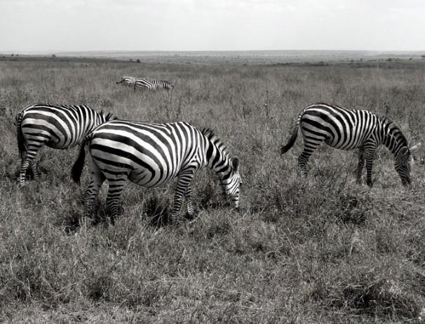 Zebra's op de savanne
