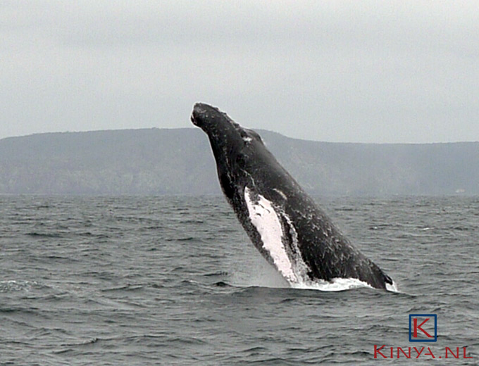 Humpback whale or Jumpback whale